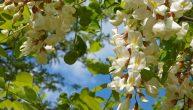 fleur acacia recette